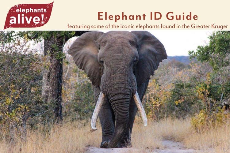 Elephants Alive - Iconic Bulls